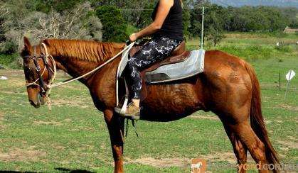 Quiet Red Stock Gelding + VIDEO+ on HorseYard.com.au