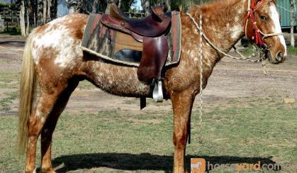 Kind Red Appaloosa  QH Gelding + VIDEO+ on HorseYard.com.au