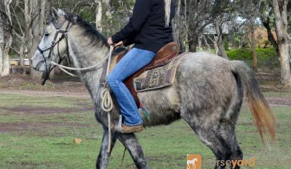 Quiet Blue Stock Horse Gelding + VIDEO+ on HorseYard.com.au