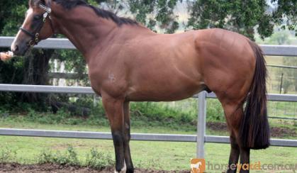 GORGEOUS QUIET TB GELDING on HorseYard.com.au