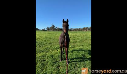 Jasper- 14.2 Australian Riding Pony. on HorseYard.com.au