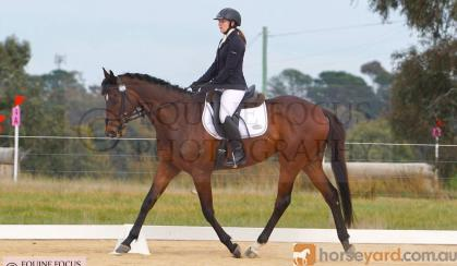 Lovely TB gelding on HorseYard.com.au