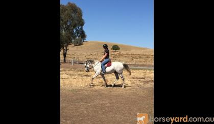 Jasper - 11 year old gelding for sale on HorseYard.com.au