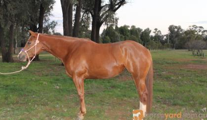 Gorgeous DMB Intimidator filly on HorseYard.com.au