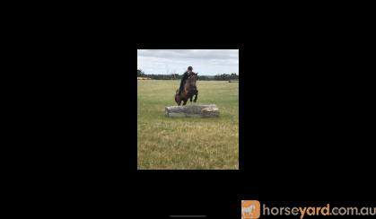 Eventing Prospect, 17 HH, 9YO, TB GELDING on HorseYard.com.au