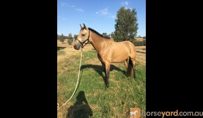 6 YO Buckskin Mare on HorseYard.com.au