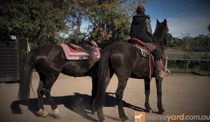 PAIR OF SUPER QUIET BLACK HORSES on HorseYard.com.au