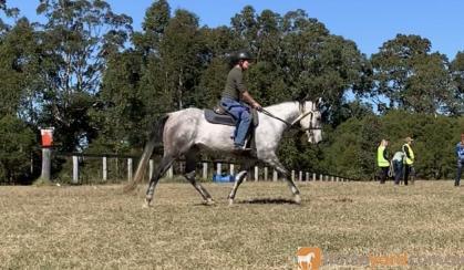 ASH Grey Gelding on HorseYard.com.au