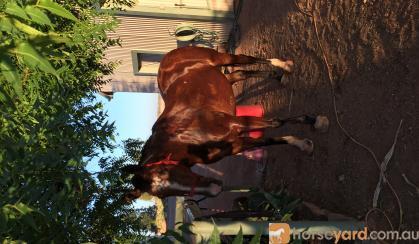 Perfect Allrounder on HorseYard.com.au