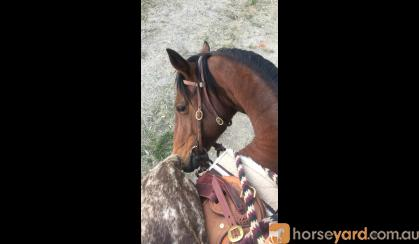 Bay Stockhorse x Gelding - Ride or Pack on HorseYard.com.au