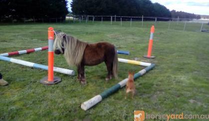 Mini stallion on HorseYard.com.au