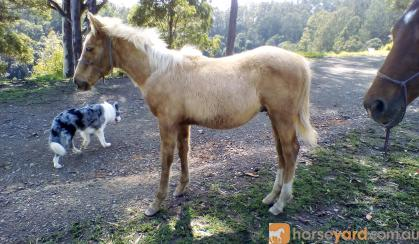QUARTER HORSE PALOMINO COLT on HorseYard.com.au