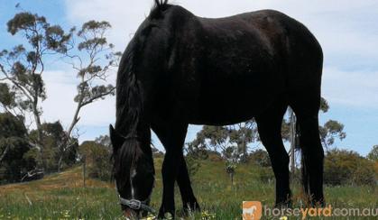 Riding Pony on HorseYard.com.au