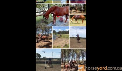 Beautiful QH xTB Ruby on HorseYard.com.au
