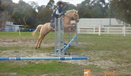 14hh 5yo Palomino Mare  on HorseYard.com.au