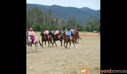 Quarter horse Arab gelding on HorseYard.com.au