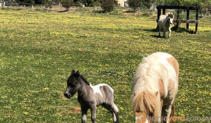 Miniature Ponies on HorseYard.com.au