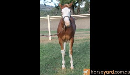 Lovely weanling gelding By First Down Imp USA (dec) on HorseYard.com.au