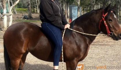 Sweet Bay Pony X QH Mare + VIDEO+ on HorseYard.com.au