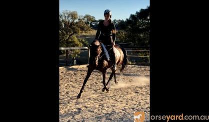 Sweet Australian Riding Pony - Urgent Sale on HorseYard.com.au