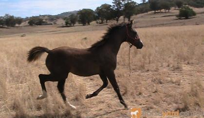 Anglo Arabian Yearling Filly(make a reasonable offer). on HorseYard.com.au
