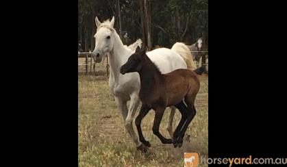 Gorgeous Purebred Filly on HorseYard.com.au