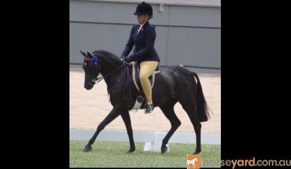 Stunning Black gelding on HorseYard.com.au