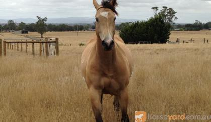 Quiet Buckskin Overo Filly  on HorseYard.com.au
