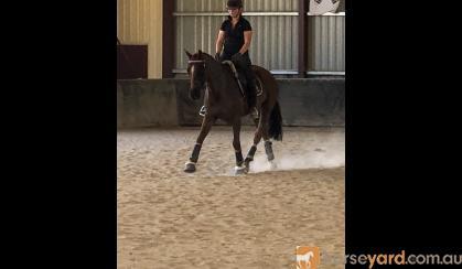 PRICE REDUCED - Safe - Competitive - Versatile on HorseYard.com.au