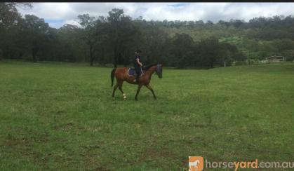 Stockhorse x, 5y/o on HorseYard.com.au