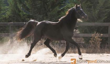 3 YO Arabian x Warmblood Gelding looking for his FOREVER HOME on HorseYard.com.au