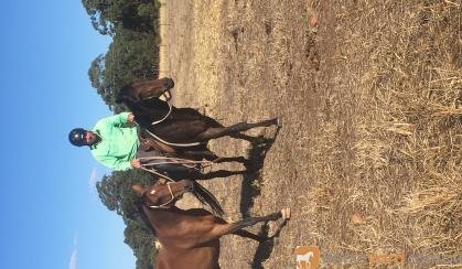 Unraced 4yr old TB gelding - exceptionally quiet! on HorseYard.com.au