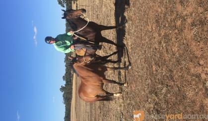Unraced TB gelding 4yrs old - exceptionally quiet on HorseYard.com.au