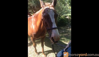 Good Boy Quarab 15hh 21 years but these horses are ridden for years on HorseYard.com.au