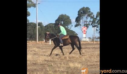 Unraced 4yr old TB gelding - exceptionally quiet! on HorseYard.com.au