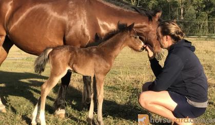 Welsh C mare  on HorseYard.com.au