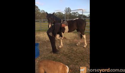 Gypsy cob x colt on HorseYard.com.au