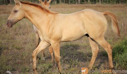 AQHA Registered Dun Colt (priced as Gelding)  on HorseYard.com.au