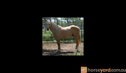 Tamulena Freckles/Buclena Bloodlines on HorseYard.com.au