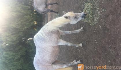 Purebred grey Arab brood mare on HorseYard.com.au