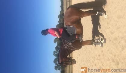 Sollie 6 y/o Warmblood/Clydie cross 16.1hh Bay Gelding on HorseYard.com.au