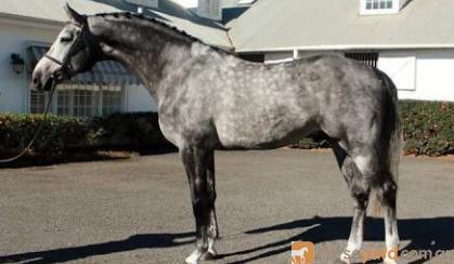 In foal to Corelli (Imp) on HorseYard.com.au