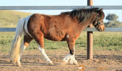 Pinto pony filly unbroken on HorseYard.com.au