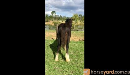 Stunning Black Gypsy Cob Gelding For Sale on HorseYard.com.au