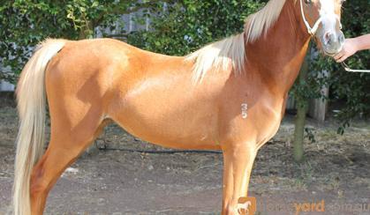 2yo Welsh B Gelding on HorseYard.com.au