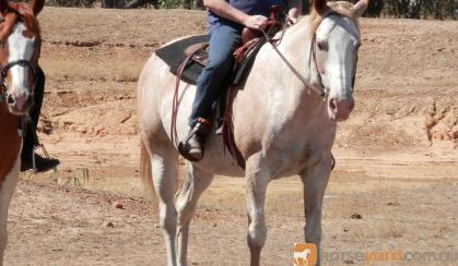 Registered Paint Mare - Great temperament, well educated on HorseYard.com.au