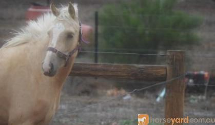Palomino filly with bling on HorseYard.com.au