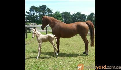 Arabian mare  on HorseYard.com.au