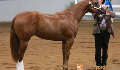 Broodmare - WP Aint She Phenomenal. Pic as yearling. on HorseYard.com.au