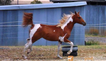Chestnut Tobiano Arabian (75%) Filly on HorseYard.com.au